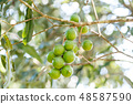 Raw macadamia nuts tree in organic field 48587590