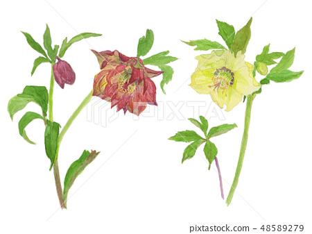 Helleborus orientalis 크리스마스 로즈 (렌 텐 로즈) 48589279
