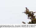 Wood Pigeon sitting in a shrub 48591907