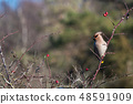 Sunlit Waxwing in rose hip shrub 48591909