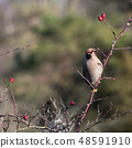 Waxwing sitting in a rose hip shrub 48591910