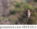 Waxwing feeding rose hips in a shrub 48591911