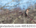 Waxwing sitting on a rose hip twig 48592033