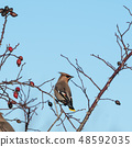 Waxwing in a rose hip shrub 48592035