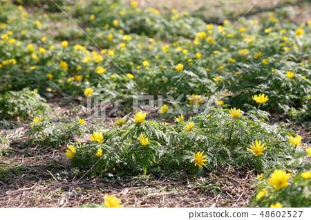 복수초 꽃밭 48602527