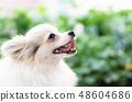 Closeup cute pomeranian dog looking something  48604686