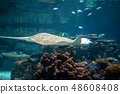 Reticulated whiptail ray swimming in shallow water 48608408