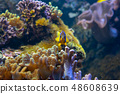 Orange clownfish swimming in a coral reef 48608639