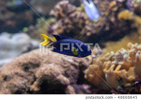Blue fish with yellow tail and fins 48608645