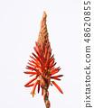 Flower of Kidachiaroe 48620855