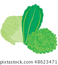 Vector painterly set with three different lettuce 48623471