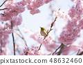 벚꽃과 동박새 48632460