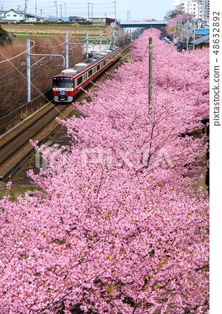 日本河津櫻 48632892
