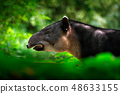 Tapir in nature. Central America Baird's tapir 48633155
