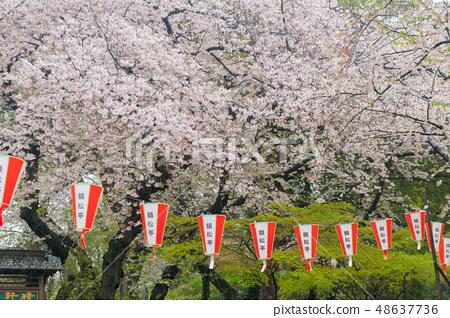 Umeino櫻花盛開上野皇家公園在雨中觀賞櫻花 48637736