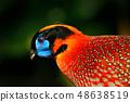 Exotic bird from Asia. Temminck's Tragopan 48638519
