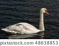 White Mute Swan swim on a Dark Blue Lake 48638853