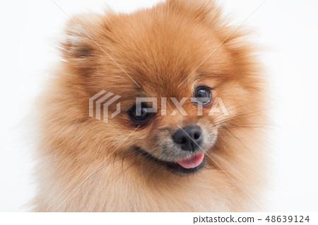 Portrait of a young orange pomeranian spitz  48639124
