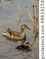 Female of mallard duck with a duckling 48639256