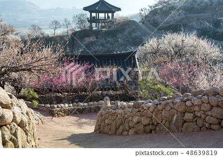 매화와 한국식 돌담 그리고 기와지붕 48639819