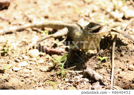 公園看到的野生蜥蜴 48640452
