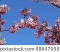 一棵懦弱的櫻桃樹的花在盛開的Inage沿海駐地前面的 48647099