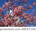 Flowers of a cowardly cherry tree in front of Inage Coastal Station in full bloom 48647106