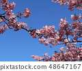 Flowers of a cowardly cherry tree in front of Inage Coastal Station in full bloom 48647167