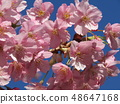 Flowers of a cowardly cherry tree in front of Inage Coastal Station in full bloom 48647168