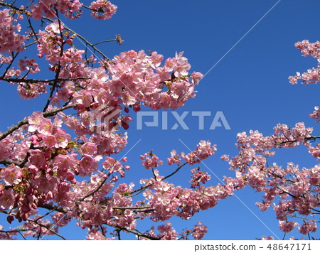 Flowers of a cowardly cherry tree in front of Inage Coastal Station in full bloom 48647171