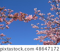 Flowers of a cowardly cherry tree in front of Inage Coastal Station in full bloom 48647172