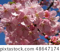 Flowers of a cowardly cherry tree in front of Inage Coastal Station in full bloom 48647174