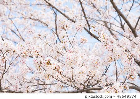 Sakura Sakura Sakura Ayai Yoshino Simei Yoshino哭泣的多雪的拷貝空間字符空間 48649574