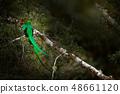 Resplendent Quetzal, Savegre in Costa Rica 48661120