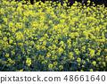 Rape blossoms 48661640