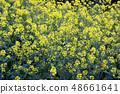 Rape blossoms 48661641