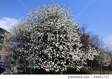 목련나무 48661717