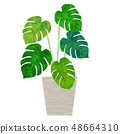 관엽 식물 몬스 테라 48664310