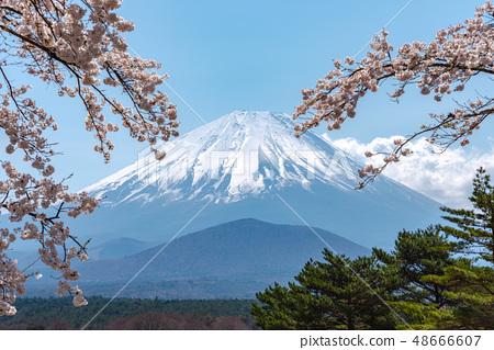 富士下田湖盛开樱花春天形象Chikusano Yoshino五颜六色的明亮的春天风景山梨日本 48666607