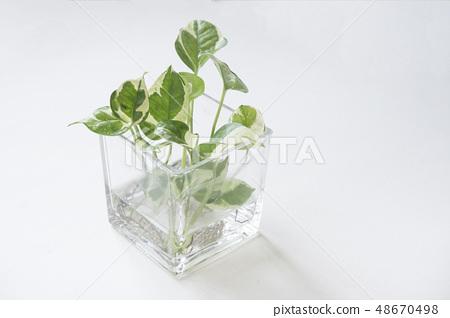 植物黃金葛 48670498