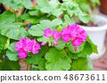 진한 분홍색 제라 뉴무 48673611