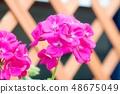 진한 분홍색 제라 뉴무 48675049