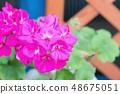 진한 분홍색 제라 뉴무 48675051