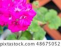 진한 분홍색 제라 뉴무 48675052