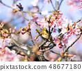 동박새와 카와 벚꽃 48677180