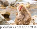 Japanese Snow monkey 48677936