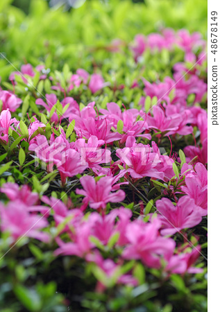 Up of azaleas 48678149