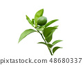 Fresh green lime on a branch with leaves Isolated 48680337