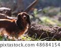 达克斯猎犬Kaninhaen可爱 48684154