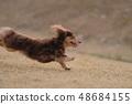 达克斯猎犬Kaninhaen可爱 48684155
